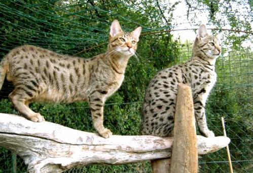 Elevage et vente de chat savannah savanne africaine f line - Felin de la savane ...